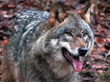 В Якутии из-за нашествия волков ввели режим ЧС (фото EPA)