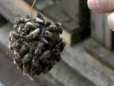 Японские пчёлы облепляют противника и