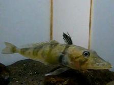 Удивительное существо также не имеет чешуек, присущих многим видам рыб  ((кадр из видео YouTube).)