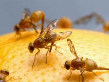 Плодовые мушки без труда могут различать запахи цитрусовых ((фото Wikimedia Commons). )