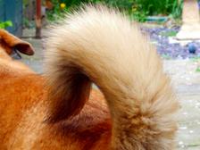 Направление движения хвоста сигнализирует о настроении собаки ((фото Paul Walker/Flickr).)