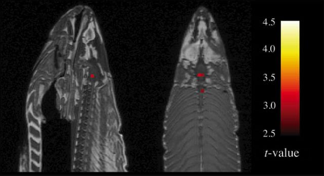 Американские нейробиологи исследовали на магнитно-резонансном томографе мёртвую сёмгу и обнаружили у неё активность мозга (иллюстрация Bennett et. al.).
