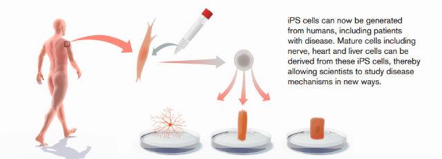 Благодаря этим открытиям зрелые клетки человека могут быть перепрограммированы в стволовые клетки, которые затем превратятся в любой другой тип клеток (иллюстрация 2012 The Nobel Committee for Physiology or Medicine).