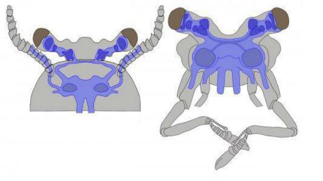 Строение мозга ископаемой особи Fuxianhuia (слева) и современного рака-отшельника (справа). Видно, что структуры имеют много общего (иллюстрация Nicholas Strausfeld).