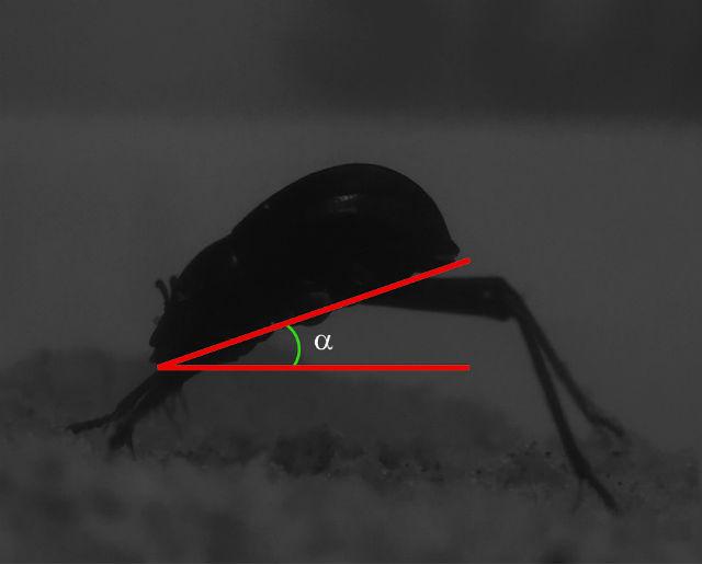 Жуки вида Onymacris unguicularis приспособились добывать влагу из утреннего тумана, который ветер пригоняет вглубь пустыни со стороны моря (фото Nørgaard, Dacke, Frontiers in Zoology 2010).