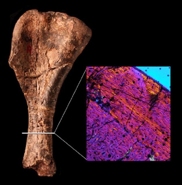 Кость верхней конечности (фото Mark Witton/Natural History Museum).