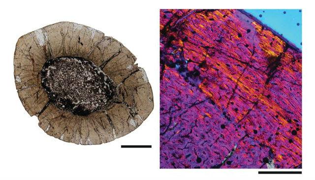 Исследование структуры костной ткани показало, что кровеносные сосуды древней рептилии были очень большими. Это означает, что животные росли быстро, что характерно для динозавров (фото Royal Society Biology Letters).