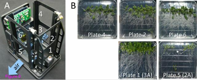 На примере небольших цветковых растений, резуховидок Таля, исследователи из США показали, что в условиях невесомости направление роста растений сохраняется и корни распространяются в противоположную от побегов сторону (иллюстрация Paul et al.).