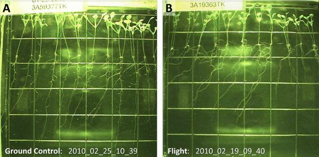 На протяжении эксперимента растения находились в специальных ёмкостях с прозрачной питательной средой. Общая экспериментальная установка также содержала камеру, которая делала снимки каждые шесть часов на протяжении первых 15 дней роста растений (иллюстрация Paul et al.).