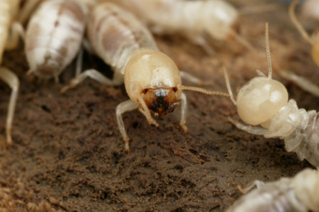 Рабочая особь дарвинова термита (Mastotermes darwiniensis) (фото CSIRO Entomology).