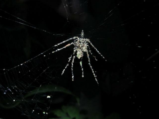 В Западной Амазонии найдены новые пауки, которые из листьев, сухих насекомых и прочего мусора изготавливают собственное увеличенное чучело и управляют им (фото Phil Torres).
