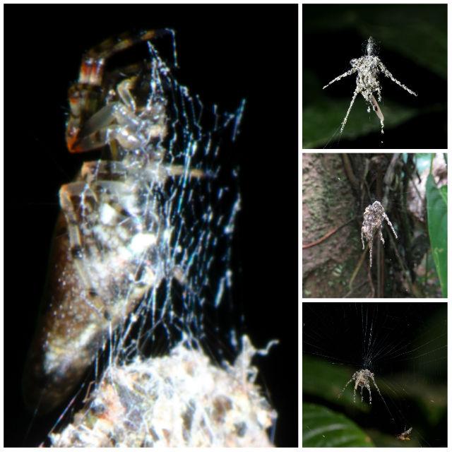 """Неописанный паук из рода Cyclosa (слева) и примеры паучьих """"марионеток"""" (справа) (фото Jeff Cremer, Phil Torres)."""