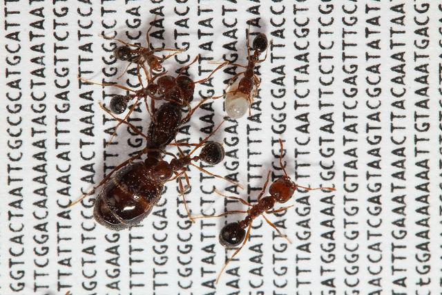 На фото огненные импортные красные муравьи: королева (крупная), пять рабочих особей (мелкие), одна личинка (белая), на фоне расшифрованной ДНК их социальной хромосомы (фото Romain Libbrecht, Yannick Wurm).