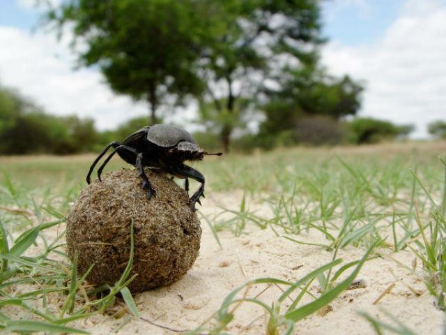 На снимке южноафриканский скарабей, взгромоздившийся на свой навозный шарик (фото Eric Warrant).