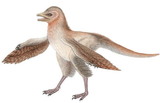 """""""Птицезавр"""" E. brevipenna не мог летать из-за небольшого размаха верхних конечностей. Кроме того, животное имело редкое хвостовое оперение, а пальцы на лапах были приспособлены скорее для хождения по земле, нежели для захвата веток (иллюстрация Royal Belgian Institute of Natural Sciences)."""