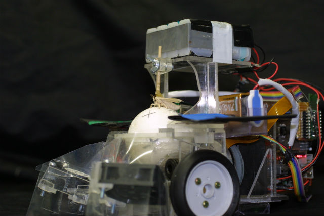 Японские исследователи создали крошечного гибридного робота, управляемого мужской особью бабочки тутового шелкопряда (фото Noriyasu Ando).