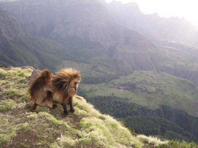 Гелады – редкий вид приматов из семейства мартышковых, который населяет высокогорные плато Эфиопии (фото Aliza le Roux).