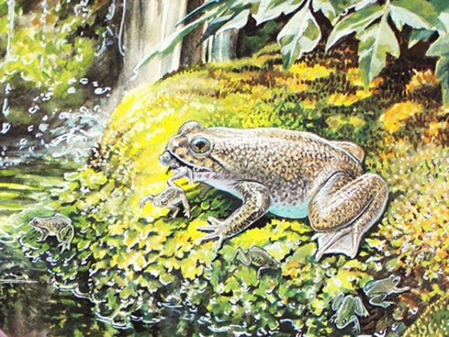 Заботливая лягушка реобатрахус голодает несколько недель, чтобы выносить детёнышей в своём желудке (иллюстрация Peter Schouten/Lazarus Project).