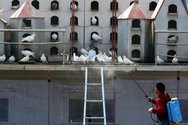 Китайский рабочий проводит дезинфекцию голубятни, опасаясь гибели птицы от нового вируса гриппа (фото Wu Hong/EPA).