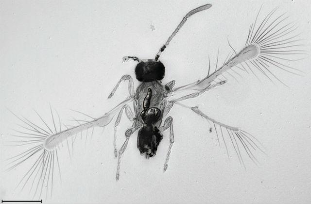 Относительно размеров собственного тела Tinkerbella nanna обладает очень длинными крылышками (фото John T. Huber).