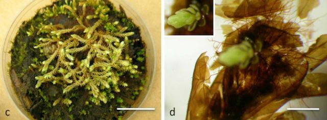 Увеличенное изображение новых зелёных побегов, проросших уже в лаборатории (фото PNAS/La Farge et al.).
