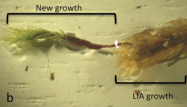 Молодой побег (слева), выросший из уже почти замёрзшего стебля (фото PNAS/La Farge et. al.).