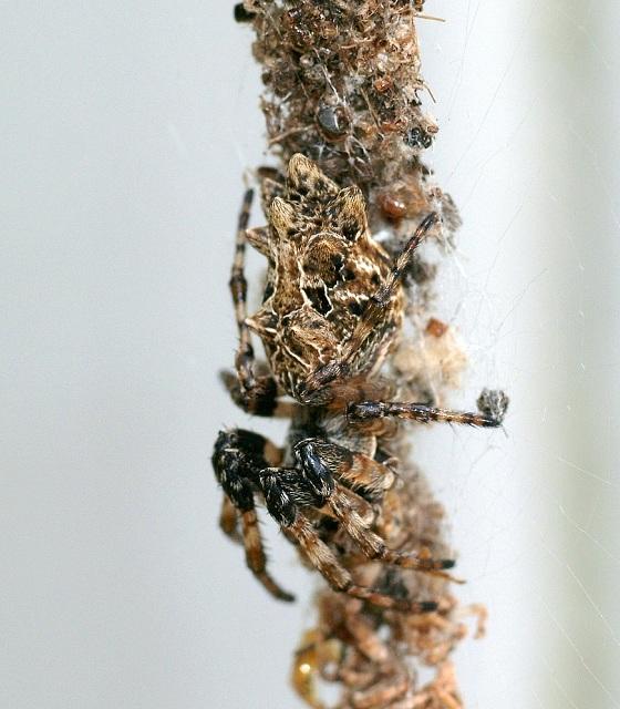 Особь вида Cyclosa octotuberculata (фото Wikimedia Commons).