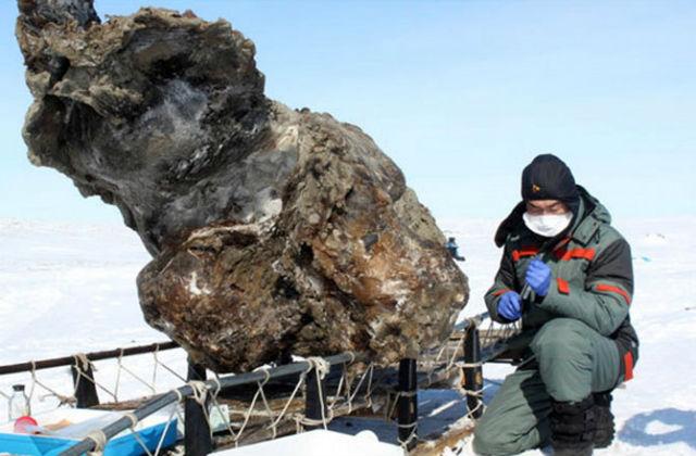 60-летняя самка мамонта пролежала во льдах около 10 тысяч лет, прежде чем её тело обнаружили якутские учёные (фото Семёна Григорьева/СВФУ им. М.К. Амосова).