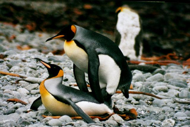 Лебедь органы размножения половой член самца