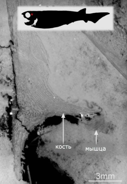 Рентгеновский снимок окаменелостей древней плакодермы. Масштабная линейка 3 миллиметра (фото Sophie Sanchez/ESRF).
