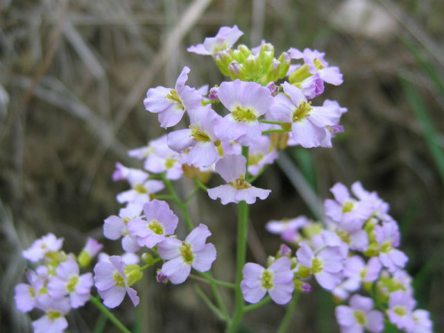 Растение резуховидка, на примере которого создавалась математическая модель (фото Kristian Peters/Wikimedia Commons).