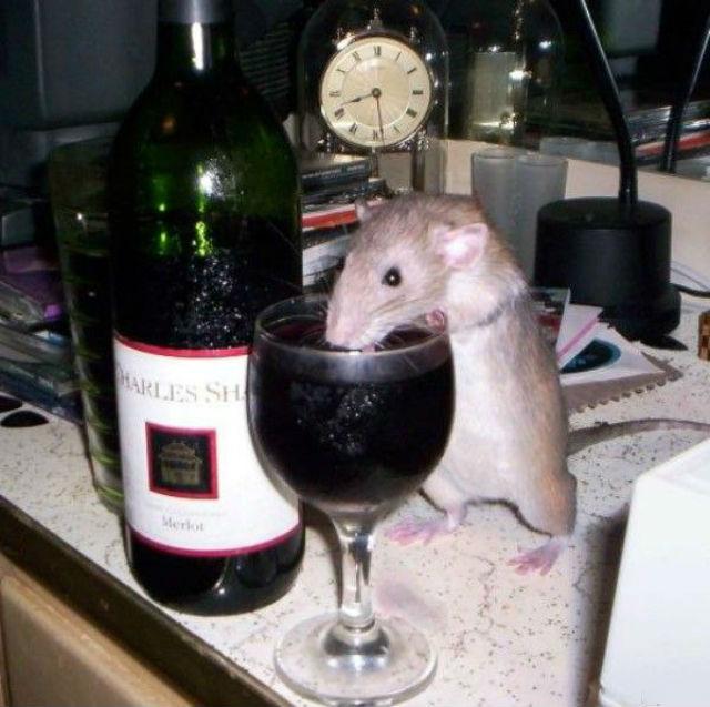 У крыс, в отличие от людей, нет силы воли. Поэтому они не способны бороться с зависимостью самостоятельно и им требуется вмешательство нейробиологов (фото Andrew Dugas/lolpix).