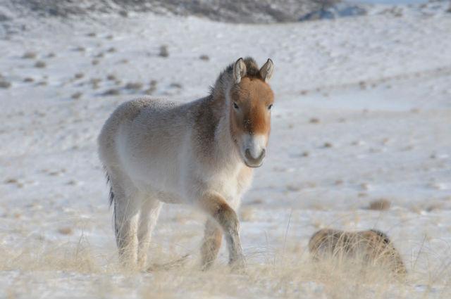 лошадь, которая находится на грани исчезновения (фото Claudia Feh, Association pour le cheval de Przewalski).