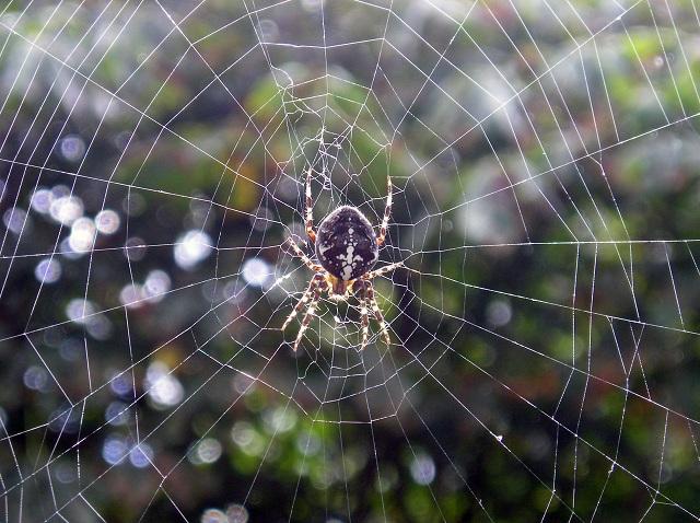 На примере вида A. diadematus учёные узнали, что паутина способна вытягиваться навстречу добыче под действием статического электричества (фото Gunnar Ries / Wikimedia commons).