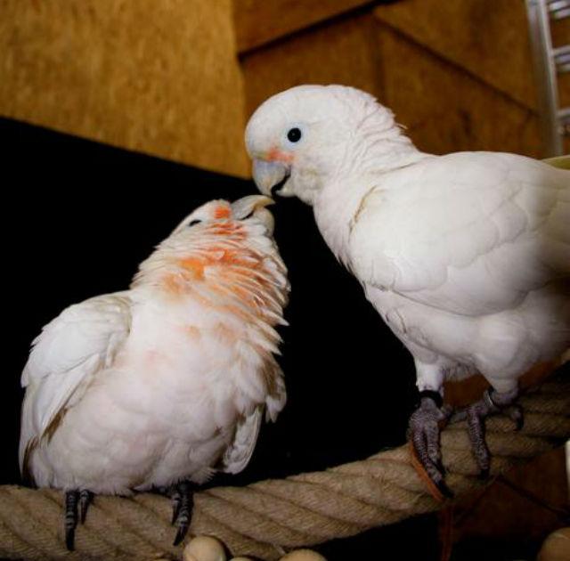 Какаду — не только красивые, но и очень сообразительные птицы (фото Alice Auersperg).