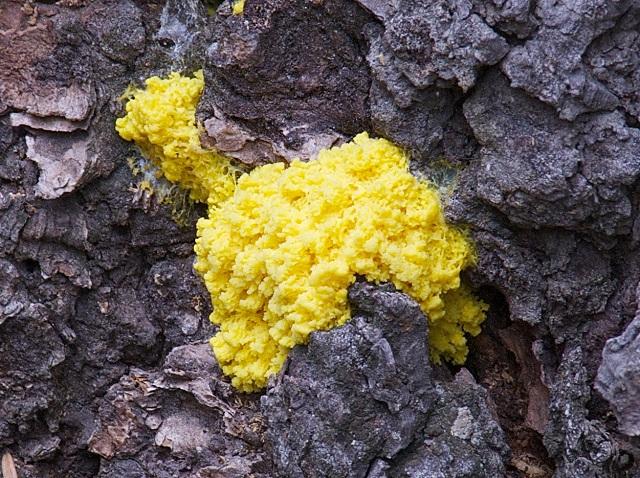 Слизевик вида Physarum polycephalum является живым мемристором (фото Jerry Kirkhart/Wikimedia Commons).