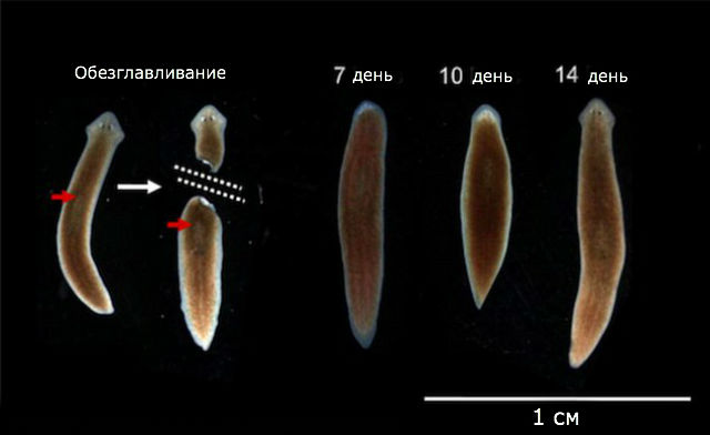 "После ""казни"" планарии за две недели восстановили утраченную голову и память. Масштабная линейка − 1 сантиметр (фото Tal Shomrat, Michael Levin, Journal of Experimental Biology)."