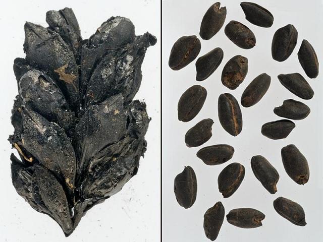 Образцы ячменя (слева) и пшеницы (справа) возрастом более 7 тысяч лет содержат повышенную концентрацию азота-15 (фото Amy Bogaard/University of Oxford).