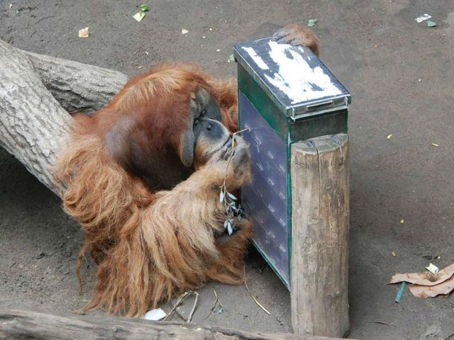 Орангутан пытается достать спрятанную в ходе испытания палку (фото Max Planck Institute for Evolutionary Anthropology).