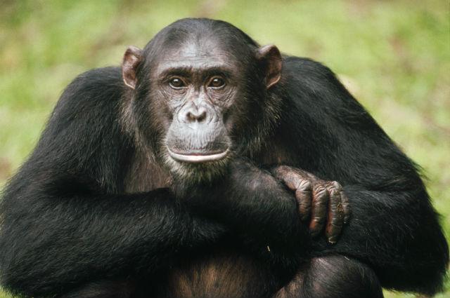 Шимпанзе и орангутаны — ближайшие родственники человека (фото Gombe Stream National Park, Tanzania).
