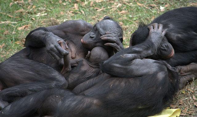 Шимпанзе — полноценные участники процесса эволюции и об этом говорят их сексуальные привычки (фото LaggedOnUser/Flickr).