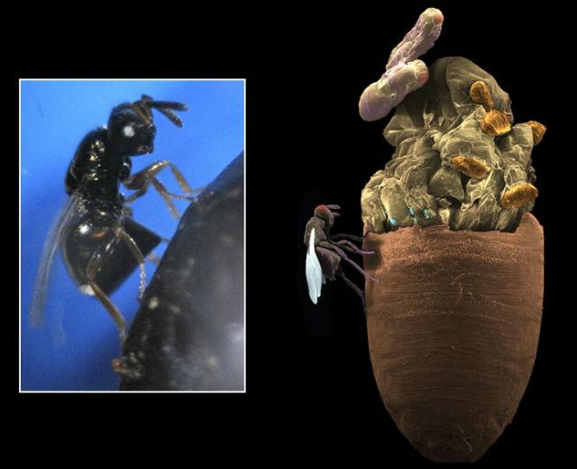 Паразитическая оса рода Nasonia. Насекомые откладывают яйца внутрь куколок (коричневые) некоторых видов мясных мух (на врезке). Личинки ос (оранжевые) питаются мухами и выгрызают себе проход, становясь взрослыми особями (фото Robert M. Brucker).