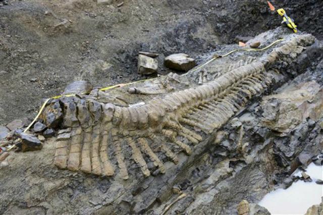 Учёные утверждают, что 50 позвонков – это полный хвост динозавра (фото AP Photo/INAH-Mauricio Marat).