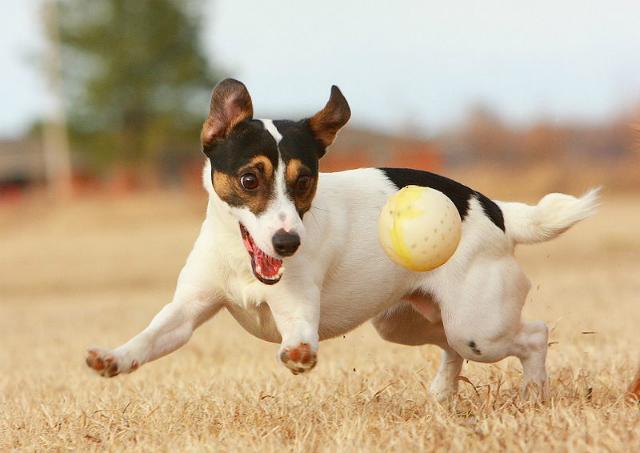 Учёные доказали, что визуальный спектр зрения собак имеет ограниченный цветовой ряд, что позволяет им различать объекты и выбирать из них наиболее приемлемый вариант (фото Emery Way/Wikimedia commons).