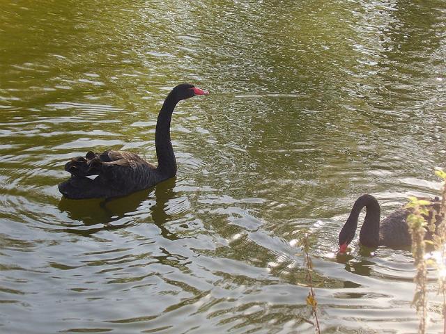 Лебеди создают пары на всю жизнь и смена партнёра возможна только в случае гибели одного из лебедей (фото Антон Пищур/Wikimedia commons).