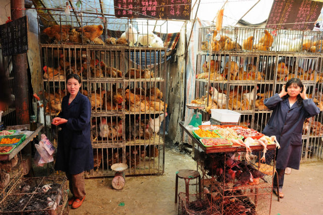 Ранее считалось, что птичий грипп может передаваться только от птицы к человеку, но недавно был зафиксирован случай заражения человека человеком (фото Padmanaba01/Wikimedia Commons).