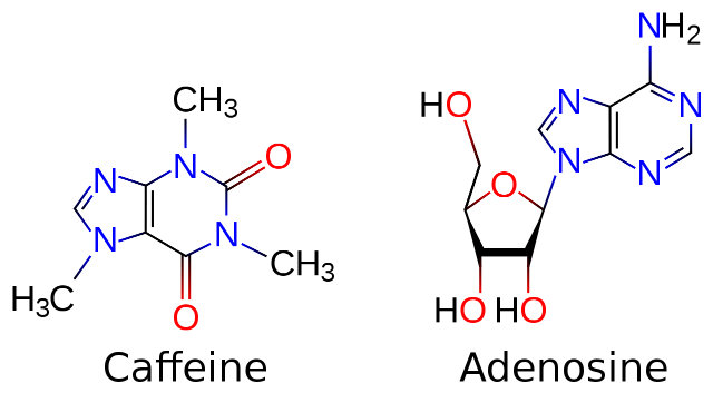 Кофеин является антагонистом аденозиновых рецепторов мозга (иллюстрация Icey/Wikimedia Сommons).