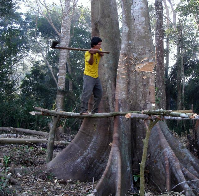 По словам авторов исследования, вырубка деревьев поднимает уровень тестостерона лучше, чем игра в футбол  (фото Benjamin C. Trumble).
