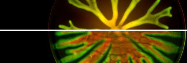 У синегнойных палочек был выбор: либо быстрее освоить максимум пространства, либо установить прочные связи внутри биоплёнки, чтобы стать менее уязвимыми (фото Cell Reports, van Ditmarsch et al.).