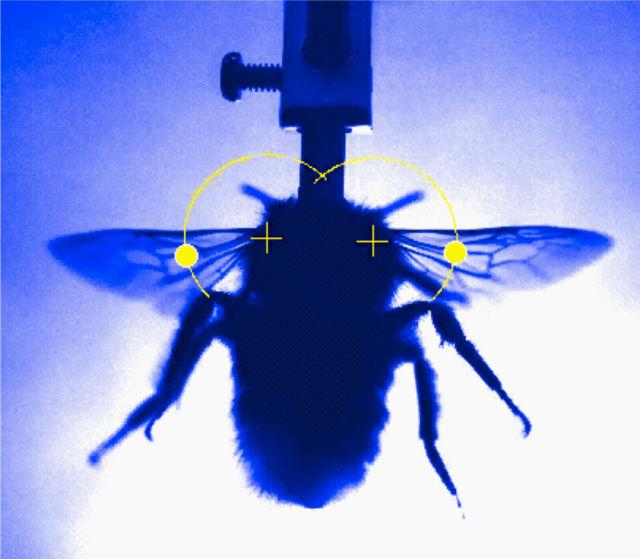 Рентген шмеля (фото Science/AAAS).